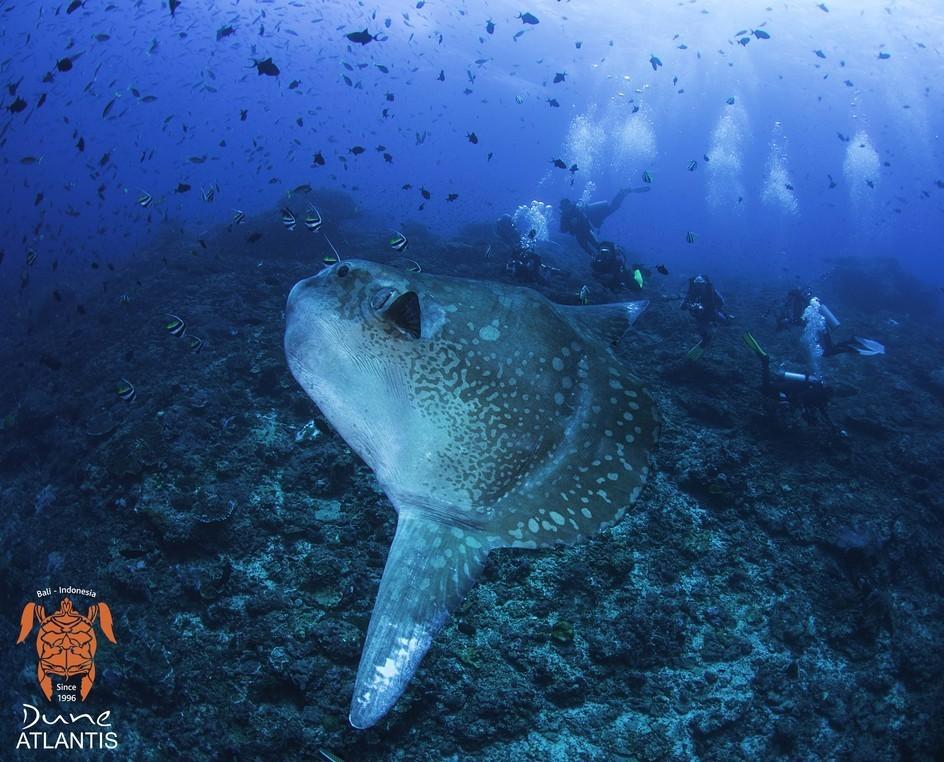 Les plongées incontournables avec les Mola mola Bali