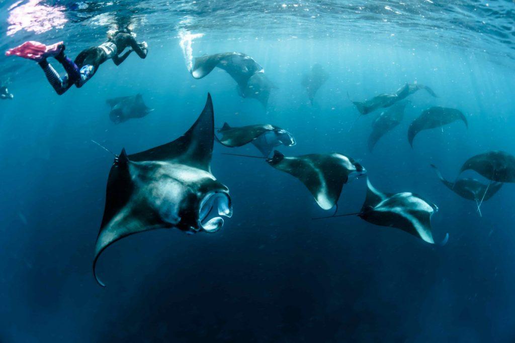 Le bonheur de nager avec une raie manta bali