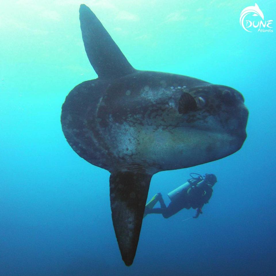 Plongez avec le poisson-lune mola mola bali